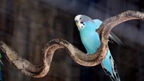 μπλε budgerigar απόθεμα βίντεο