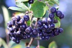 Μπλε chokeberry, arbutifolia Aronia Στοκ φωτογραφίες με δικαίωμα ελεύθερης χρήσης