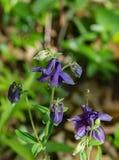 Μπλε Columbine - Aquilegia vulgaris Στοκ Εικόνα