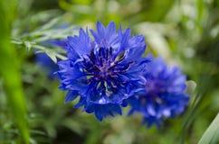 Μπλε cornflower στον κήπο Στοκ Εικόνες