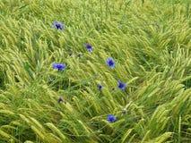 Μπλε cornflowers στον τομέα κριθαριού Στοκ Εικόνα