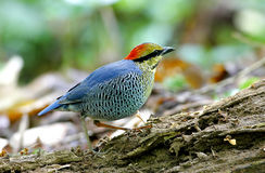 Μπλε cyaneus Pitta Hydrornis Στοκ φωτογραφίες με δικαίωμα ελεύθερης χρήσης