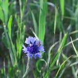 Μπλε cyanus Centaurea, cornflowers, που ανθίζει το καλοκαίρι στο αριθ. Στοκ Φωτογραφία