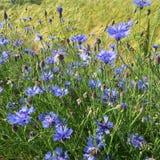 Μπλε cyanus Centaurea, cornflowers, που ανθίζει το καλοκαίρι στο αριθ. Στοκ Εικόνα