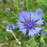 Μπλε cyanus Centaurea, cornflowers, που ανθίζει το καλοκαίρι στο αριθ. Στοκ φωτογραφία με δικαίωμα ελεύθερης χρήσης