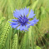 Μπλε cyanus Centaurea, cornflowers, που ανθίζει το καλοκαίρι στο αριθ. Στοκ εικόνες με δικαίωμα ελεύθερης χρήσης