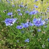 Μπλε cyanus Centaurea, cornflowers, που ανθίζει το καλοκαίρι στο αριθ. Στοκ εικόνα με δικαίωμα ελεύθερης χρήσης