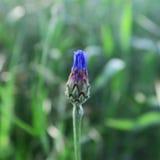 Μπλε cyanus Centaurea, cornflowers, που ανθίζει το καλοκαίρι στο αριθ. Στοκ Εικόνες