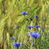Μπλε cyanus Centaurea, cornflowers, που ανθίζει το καλοκαίρι στο αριθ. Στοκ φωτογραφίες με δικαίωμα ελεύθερης χρήσης