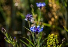 Μπλε cyanus Cornflower Centaurea Στοκ φωτογραφίες με δικαίωμα ελεύθερης χρήσης