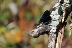Μπλε damselfly Στοκ φωτογραφίες με δικαίωμα ελεύθερης χρήσης