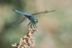 Μπλε Dasher Στοκ εικόνα με δικαίωμα ελεύθερης χρήσης