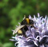 Μπλε echinops και bumblebee Στοκ φωτογραφίες με δικαίωμα ελεύθερης χρήσης