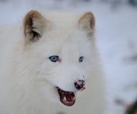 Μπλε eyed άσπρη αρκτική αλεπού Στοκ Φωτογραφίες