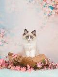 Μπλε eyed γάτα μωρών σε μια ρομαντική ρύθμιση Στοκ Φωτογραφία