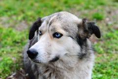 Μπλε eyed γεροδεμένο σκυλί στο δάσος Στοκ Φωτογραφίες
