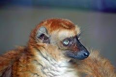 Μπλε-eyed μαύρος κερκοπίθηκος Στοκ Φωτογραφίες