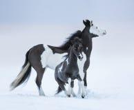 Μπλε-eyed foal μορίων φοράδων στο χειμερινό τομέα Στοκ Εικόνα