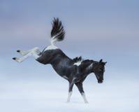 Μπλε-eyed foal Bucking Στοκ Εικόνες