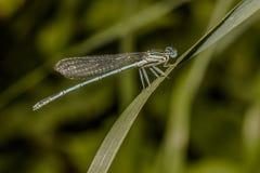 Μπλε featherleg (Platycnemis pennipes) Στοκ Εικόνα