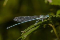 Μπλε featherleg (Platycnemis pennipes) Στοκ Εικόνες