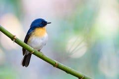 Μπλε Flycatcher Tickell Στοκ φωτογραφία με δικαίωμα ελεύθερης χρήσης