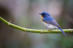Μπλε Flycatcher Tickell Στοκ εικόνα με δικαίωμα ελεύθερης χρήσης