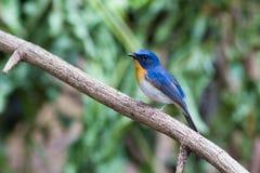 Μπλε Flycatcher Tickell Στοκ εικόνες με δικαίωμα ελεύθερης χρήσης