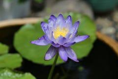 Μπλε Gigantea Waterlily Στοκ εικόνες με δικαίωμα ελεύθερης χρήσης