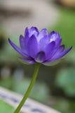 Μπλε Gigantea Waterlily Στοκ φωτογραφία με δικαίωμα ελεύθερης χρήσης