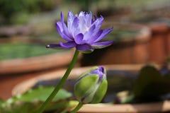 Μπλε Gigantea Waterlily Στοκ εικόνα με δικαίωμα ελεύθερης χρήσης