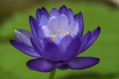 Μπλε Gigantea Waterlily Στοκ Εικόνες
