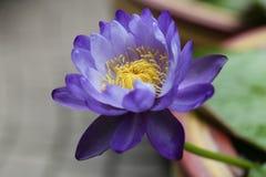 Μπλε Gigantea Waterlily Στοκ φωτογραφίες με δικαίωμα ελεύθερης χρήσης