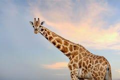 μπλε giraffe ανασκόπησης ουρανός Στοκ Φωτογραφία