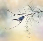 μπλε gnatcatcher γκρίζο Στοκ εικόνες με δικαίωμα ελεύθερης χρήσης