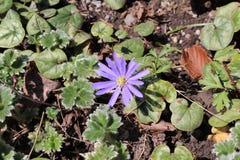Μπλε Grecian Windflower - Anemone Blanda Στοκ Εικόνα
