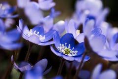 Μπλε hepatica Anemone (nobilis Hepatica) Στοκ εικόνα με δικαίωμα ελεύθερης χρήσης