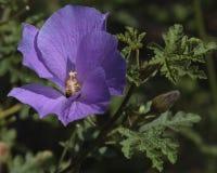 μπλε hibiscus Στοκ Εικόνες