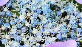 μπλε hortensia Στοκ εικόνα με δικαίωμα ελεύθερης χρήσης