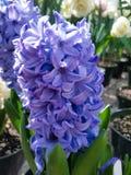 Μπλε hyachinth Στοκ εικόνες με δικαίωμα ελεύθερης χρήσης
