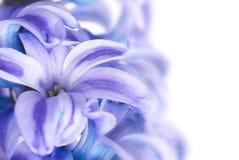 Μπλε hyacinthes Στοκ Εικόνα