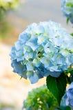 Μπλε hydrangea Στοκ φωτογραφία με δικαίωμα ελεύθερης χρήσης