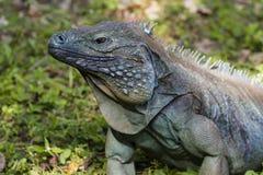 Μπλε Iguana στη χλόη Στοκ Εικόνες