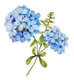 Μπλε jasmine λουλούδι watercolor Στοκ Φωτογραφία