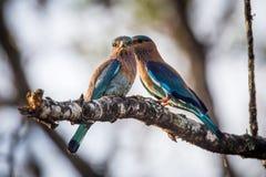 Μπλε jay ζευγάρι Στοκ Φωτογραφίες
