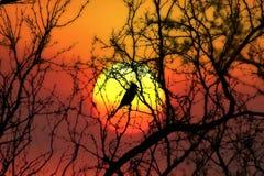 Μπλε jay ηλιοβασιλέματος Στοκ εικόνες με δικαίωμα ελεύθερης χρήσης