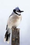 Μπλε jay στον πόλο Στοκ φωτογραφία με δικαίωμα ελεύθερης χρήσης