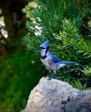 μπλε jey Στοκ Φωτογραφίες