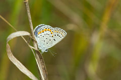 Μπλε «Karner» Melissa Στοκ φωτογραφία με δικαίωμα ελεύθερης χρήσης