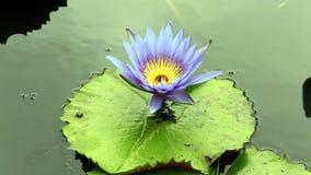 Μπλε Lotus Στοκ Φωτογραφία